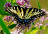 _MG_2281eastern tiger swallowtail