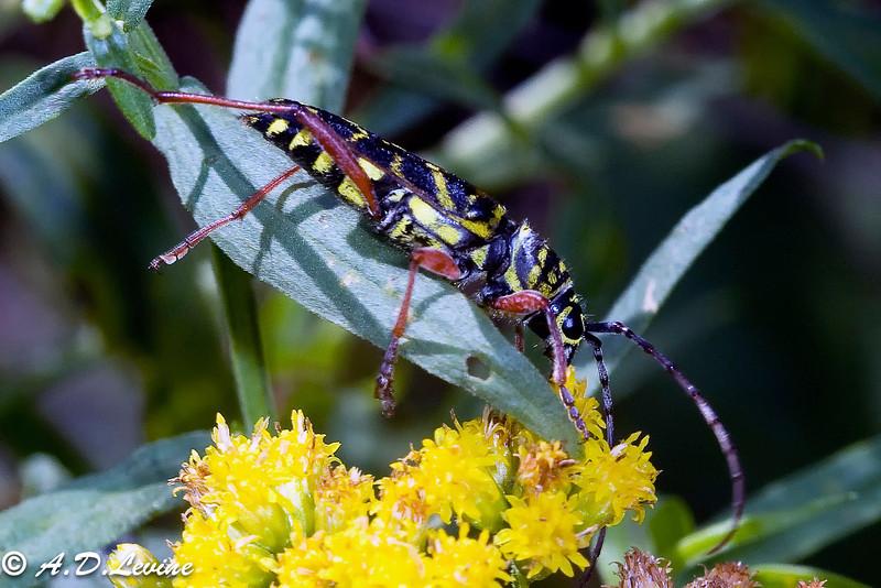 _MG_7288-Edit locust borrer high res