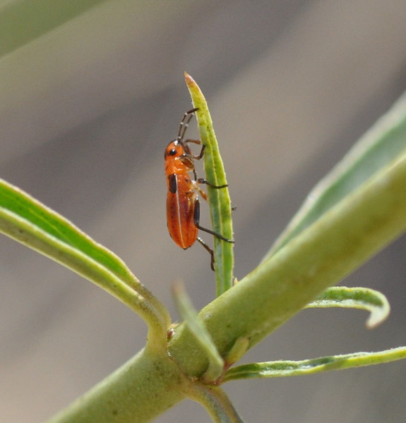 I think this is an immature milkweed bug.