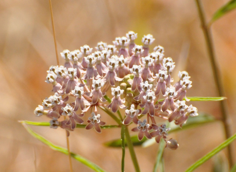A milkweed flower head. Click on the image for a larger, more detailed version.
