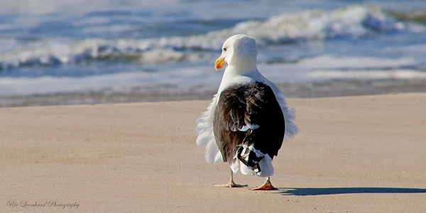 Great Black-Backed Gull on beach at Point Lookout, NY.