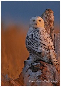 Snowy Owl on log.