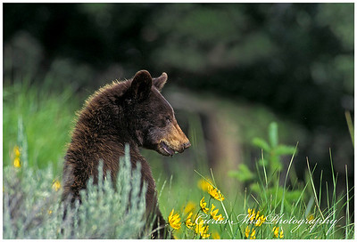 A black bear looks up briefly from his summer foraging.