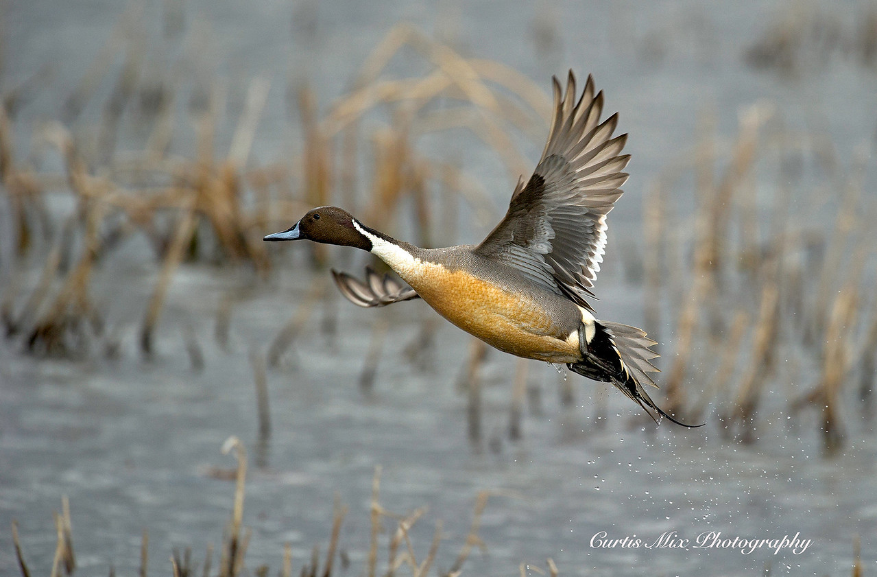 Northern Pintail.