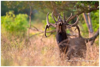 Roosevelt Elk Bull.