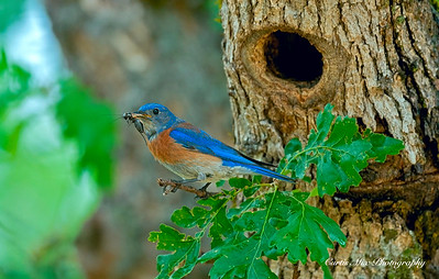 A Western Bluebird brings food to the nest for the young.