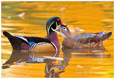 Affectionate couple. Two wood ducks with the fall colors reflecting off the pond.