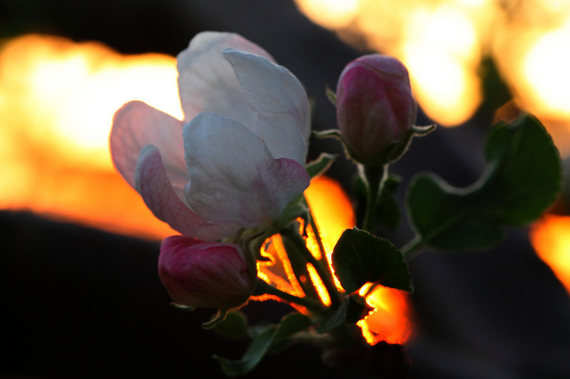 Apple blossom backlit by setting sun 3