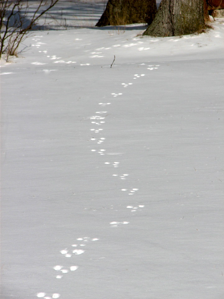 Squirrel tracks leading away from the scene of the crime (another bird feeder invasion)