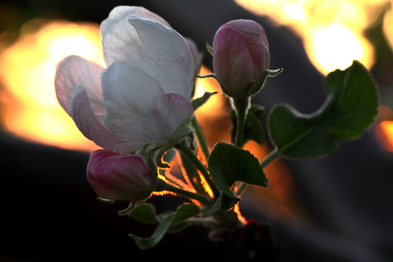 Apple blossom backlit by setting sun 2