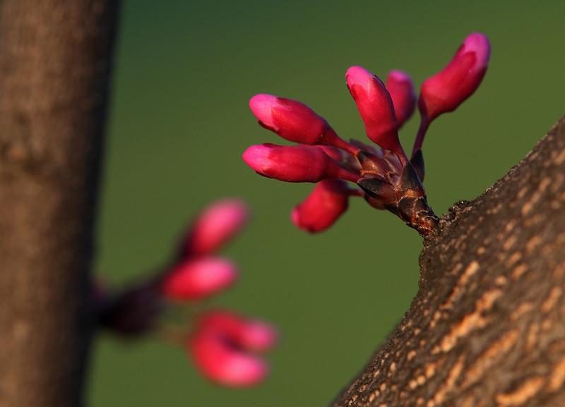 Redbud flower buds