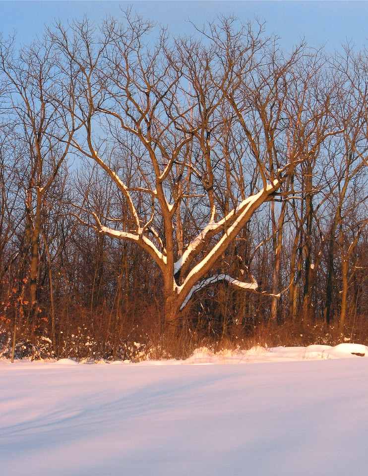 Walnut on edge of woods in deep snow
