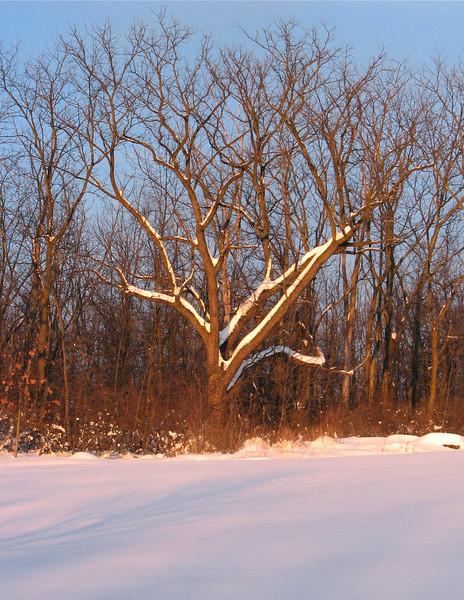 Walnut on edge of woods in deep snow