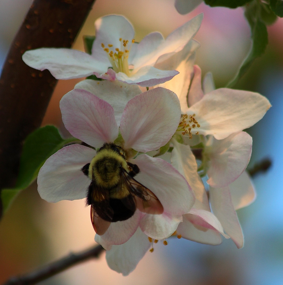 Bumblebee (Bombus impatiens) on apple blossom