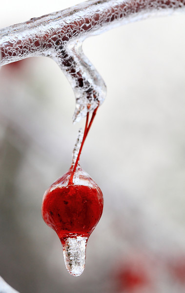 Crabapple in ice