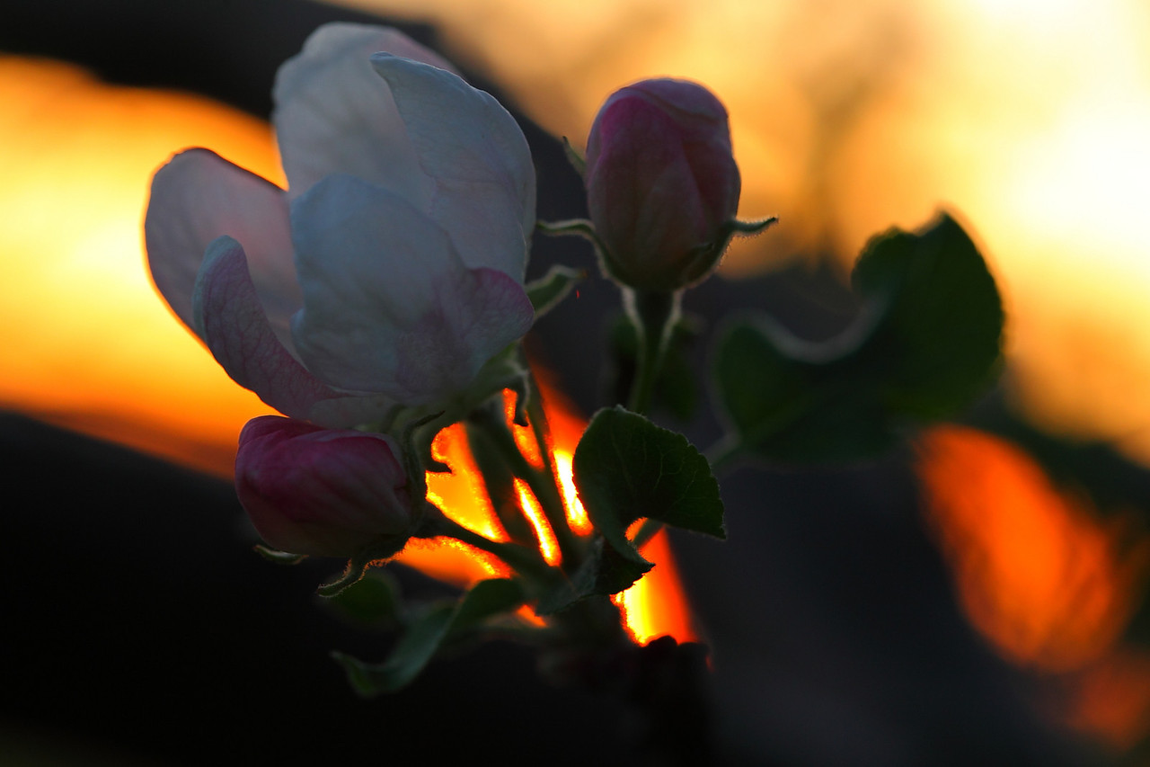 Apple blossom backlit by setting sun 4