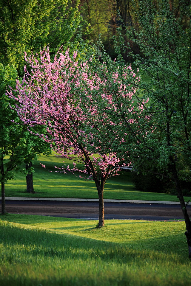 Our front yard redbud tree in early May