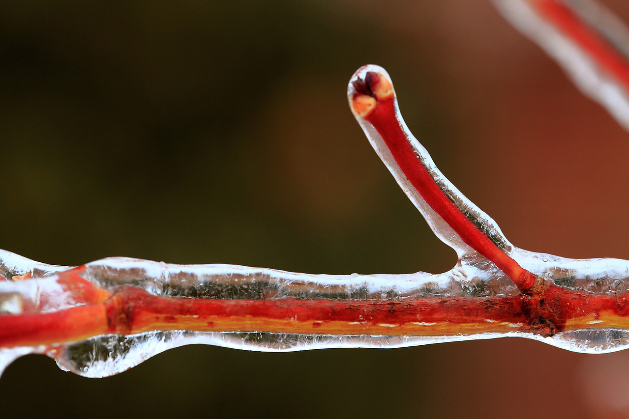 Japanese maple stem in ice