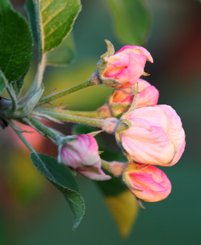 Apple blossoms ready to go