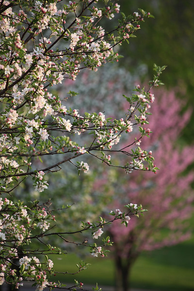 Apple blossoms and redbud