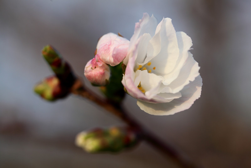 Ornamental cherry blossom