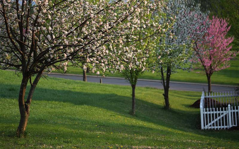 Apple pear apple redbud
