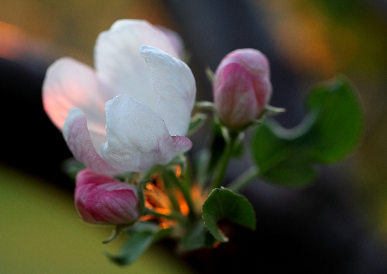 Apple blossom backlit by setting sun