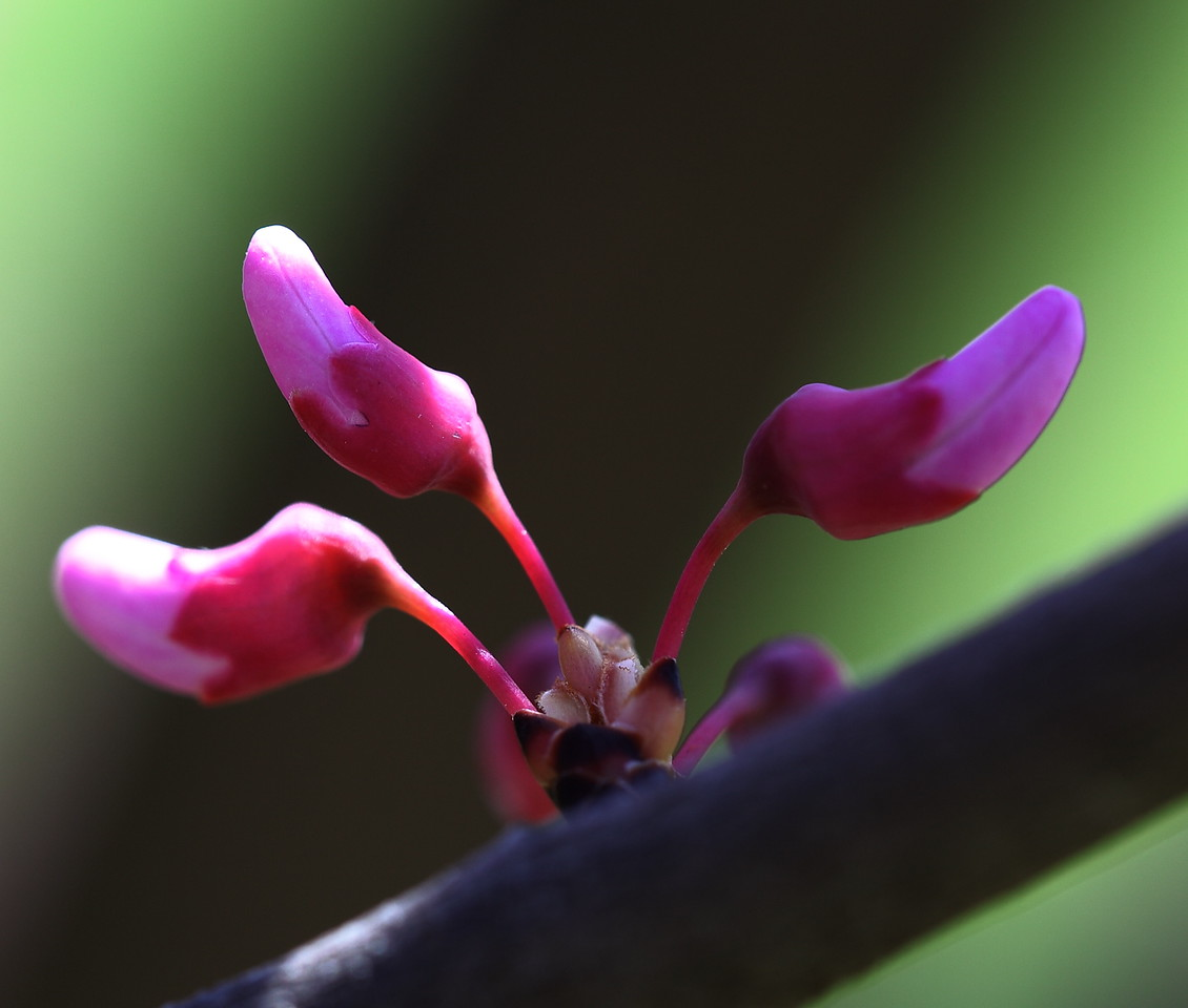 Redbud flower buds
