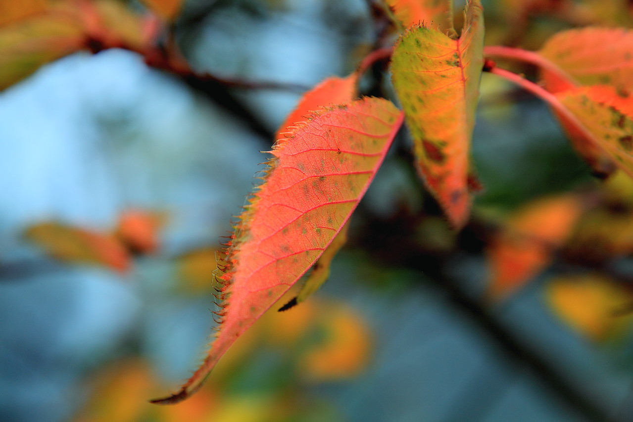 Ornamental cherry leaves in fall
