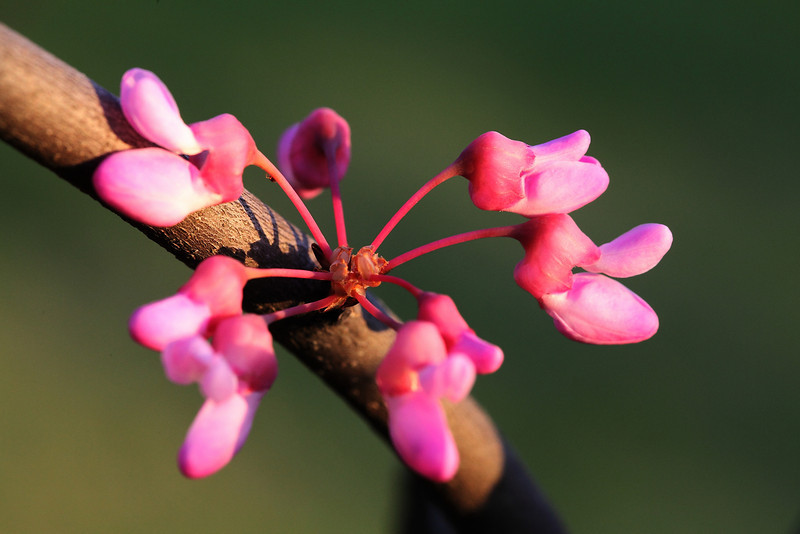 Circular cluster of red bud blossoms