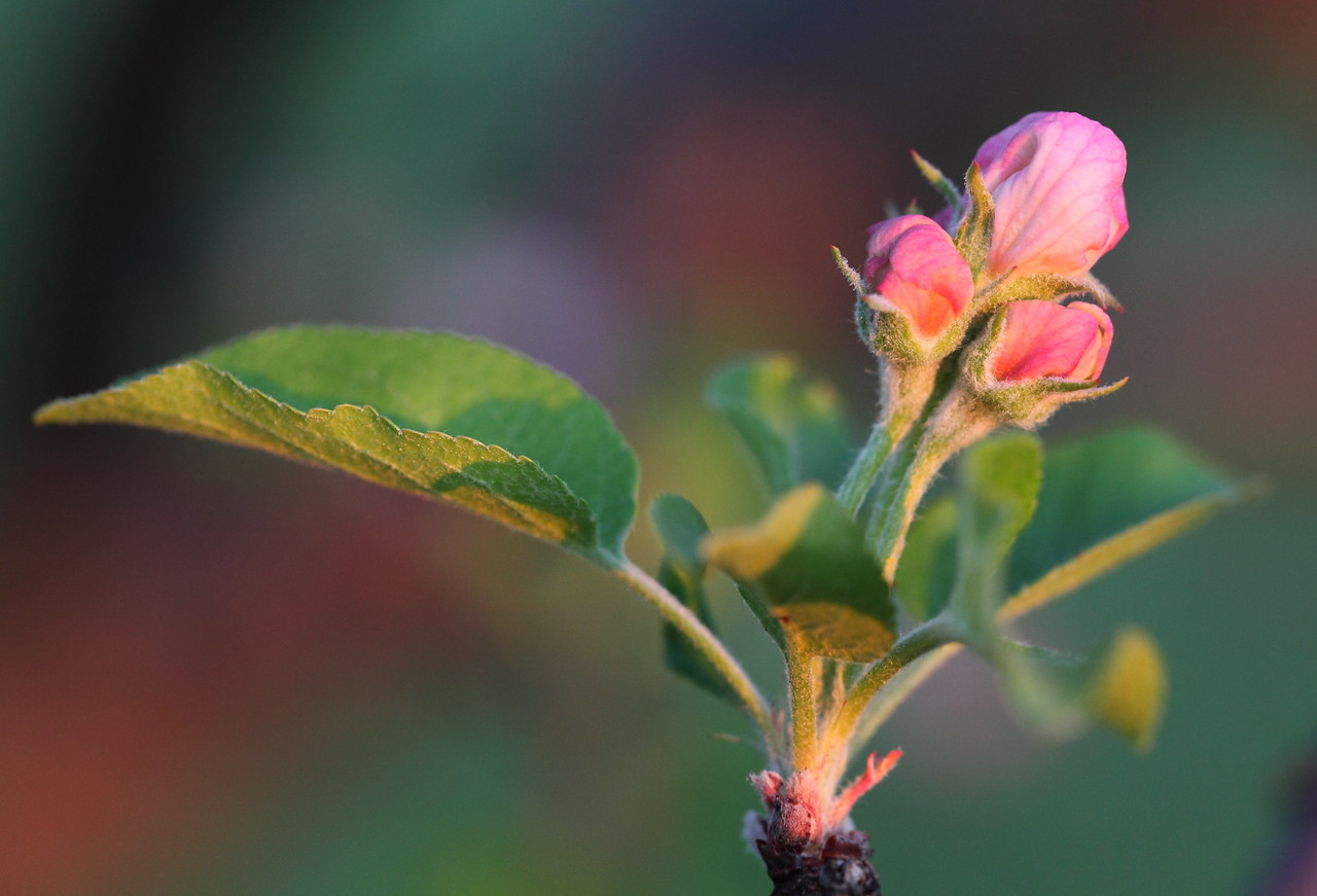 Apple blossoms in waiting