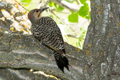 Male intergrade Northern Flicker by the South Unit Visitor Center.