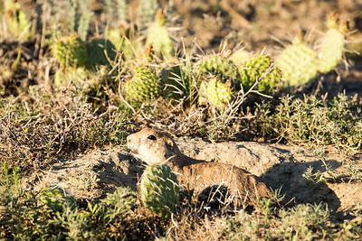 Prairie Dog in a prickly pear cactus fortress by the Old East Entrance Trail.