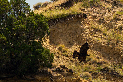 Golden Eagle flying past the Cottonwood Campground.