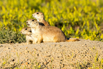 Prairie Dogs by the Old East Entrance Trail.