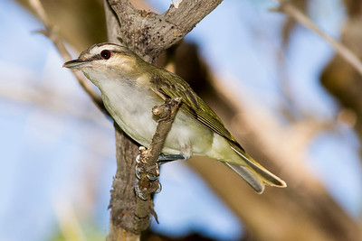 Red-eyed Vireo at the picnic area by the Cottonwood Campground.