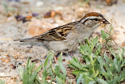 Chipping Sparrow by the South Unit Visitor Center.