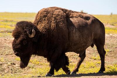 Bison Bull strolling past the Prairie Dog Town near the Skyline Vista.