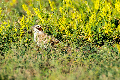 Lark Sparrow by the Old East Entrance Trail.