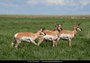 Pronghorn<br /> North Unit