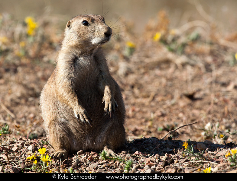 Prairie Dog<br /> South Unit