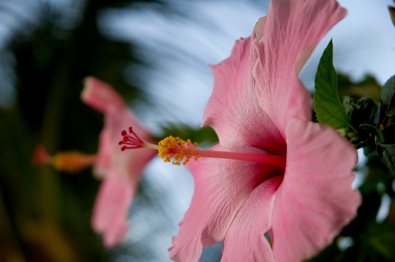 Florida hibiscus