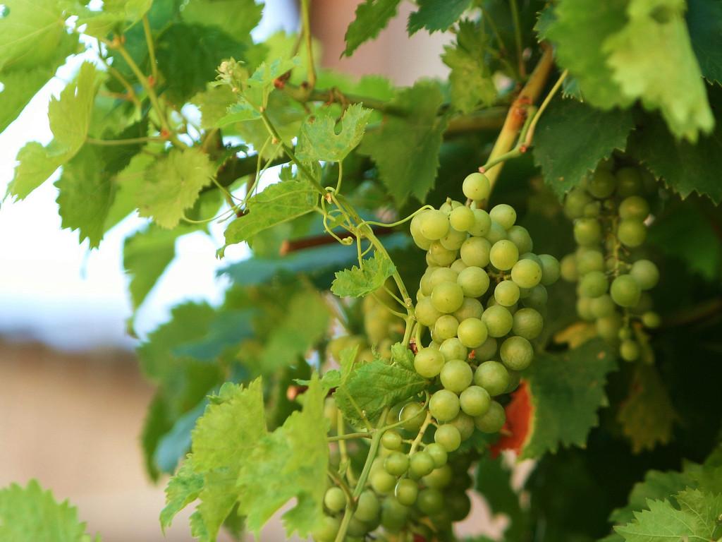 Grapes, Siena, Italy