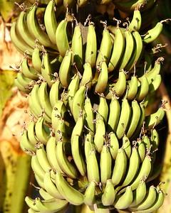 Bananas, Maui, HI