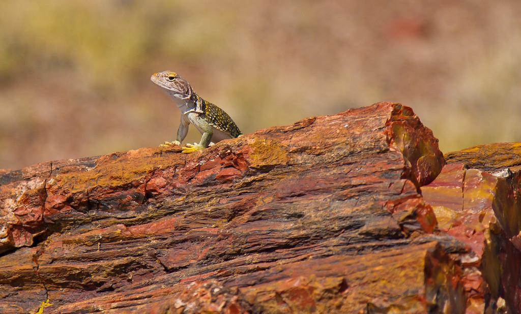 Lizard sitting atop the petrified tree trunk.  Petrified Forest National Park, AZ