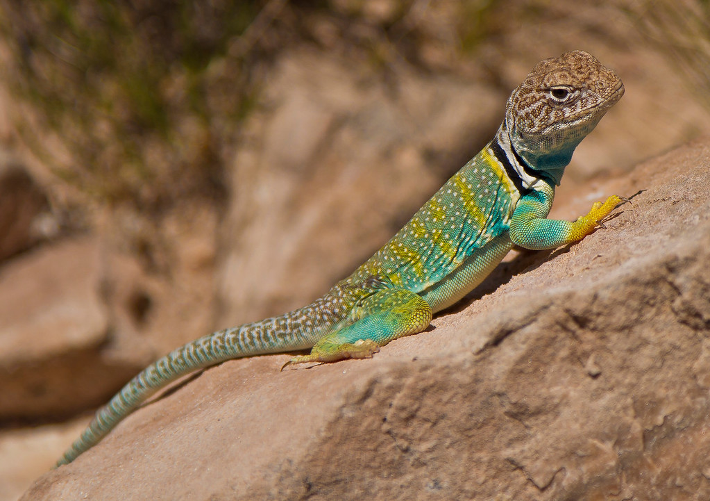 Great colors on this guy.  Painted Desert National Park, AZ