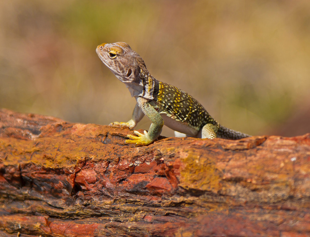 Another smaller lizard.  Not so much color, but he was just checking out the tourists.  Petrified Forest National Park, AZ
