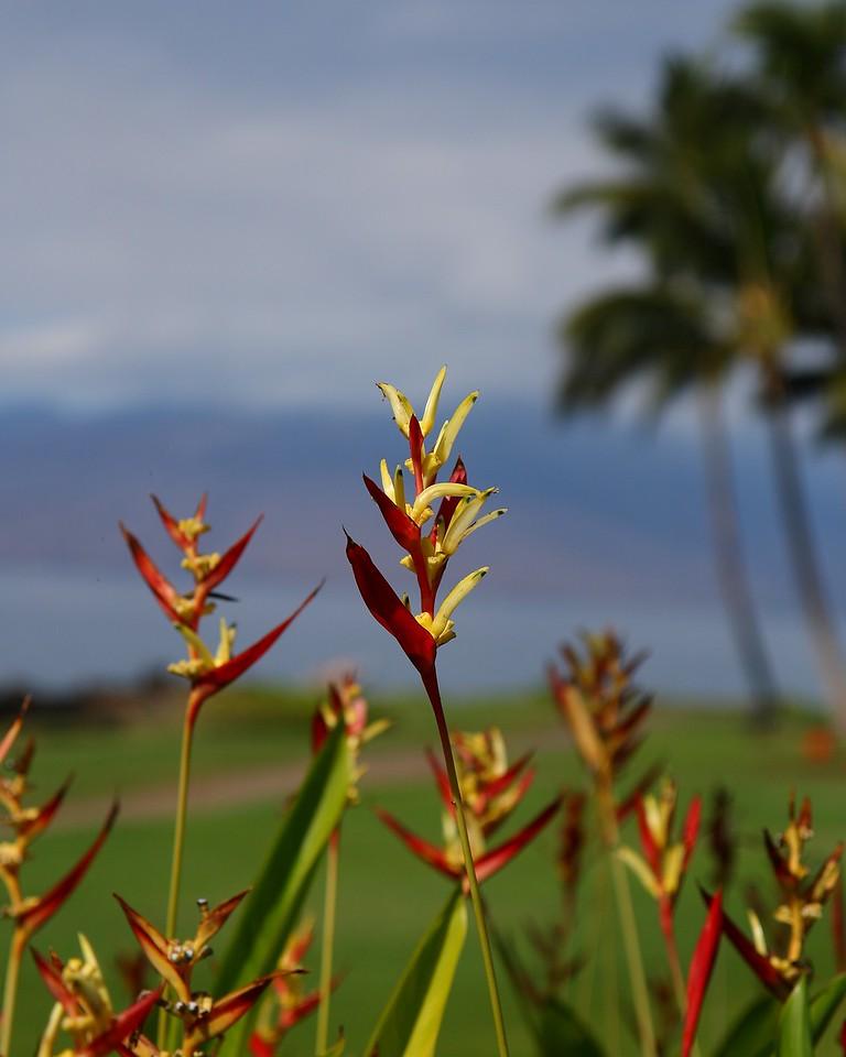 Birds of Paradise, Maui, HI