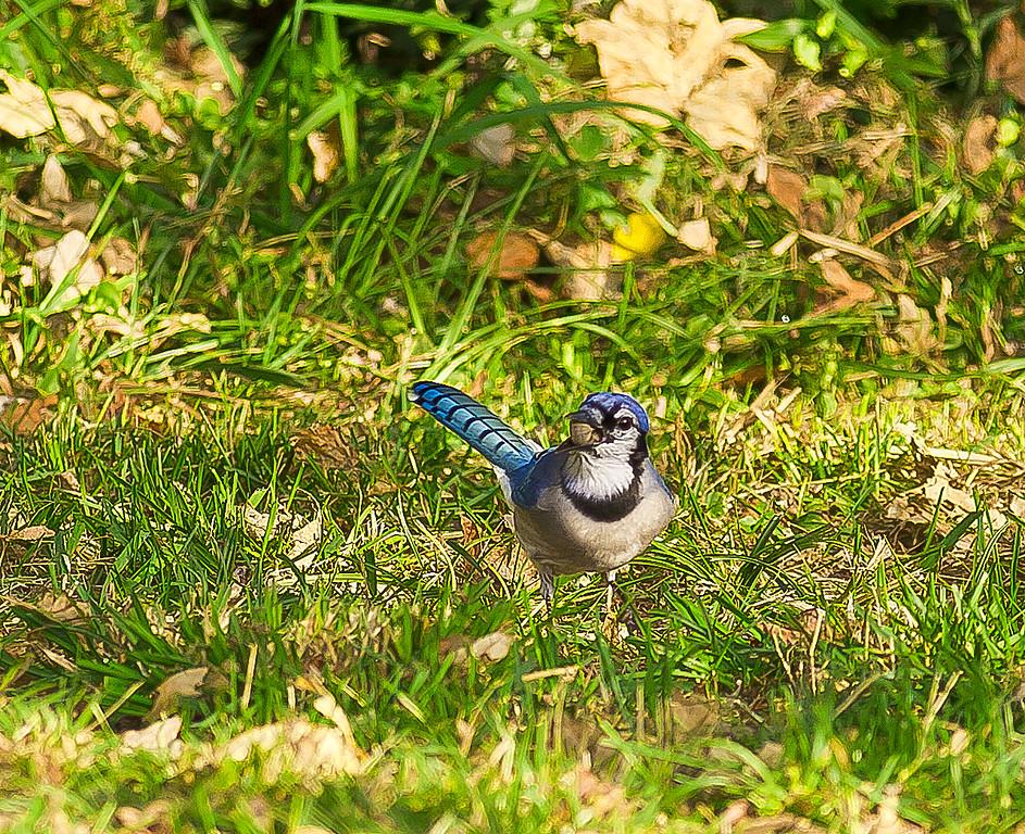 Blue Jay eating an acorn, Englewood Cliffs, NJ