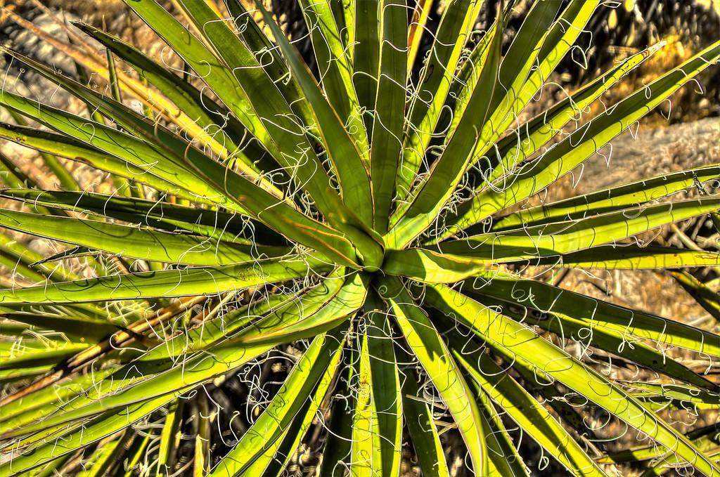 Yucca.  Las Vegas, NV